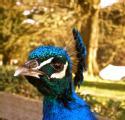 Peacock, Warwick Castle (Sep, 2009)