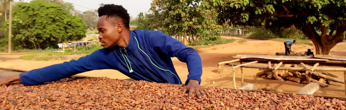 Drying of the cocoa bean by a farmer at Nkyerepoaso in Juaben municipal of the Ashanti region of Ghana.