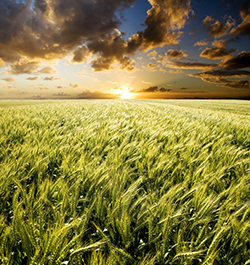 Crop with sunset
