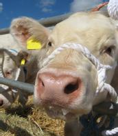 FMD cow