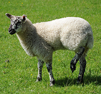 Lame lamb
