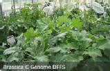 C Genome DFFS
