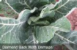 diamond back moth