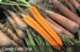 carrot-field-trial