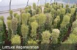 Lettuce regeneration