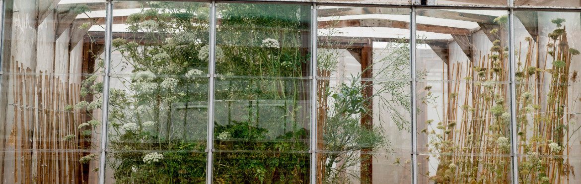 A view of plants in pollination cages in a glasshouse