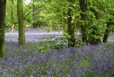 Bluebells in Tocil Wood