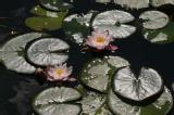Waterlilies 1