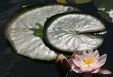 Waterlilies 3