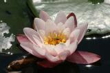 Waterlilies 4