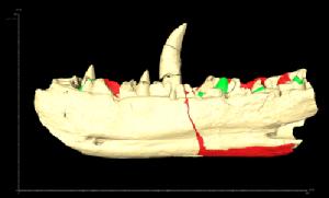 Scan of the Megalosaurus jawbone. Credit University of Warwick