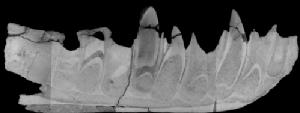 Scan of jawbone. Credit University of Warwick