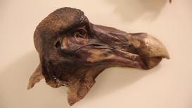 Dodo specimen remains