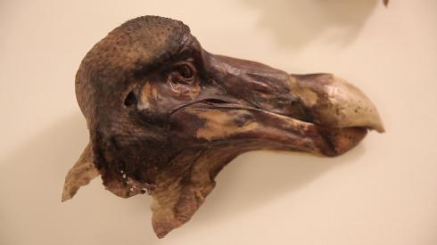 The head and some of the surviving skin tissue of the Oxford Dodo