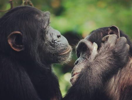 Two Chimpanzees grooming each other. Credit: Catherine Hobaiter
