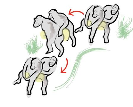 An illustration of the chimp's conga. Credit: University of Warwick