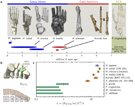 Figure from the paper demonstrating the evolution of feet from monkeys to early hominins. Credit: Nature