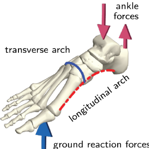 Schematic of the foot skeleton showing the arches and typical loading pattern during locomotion.
