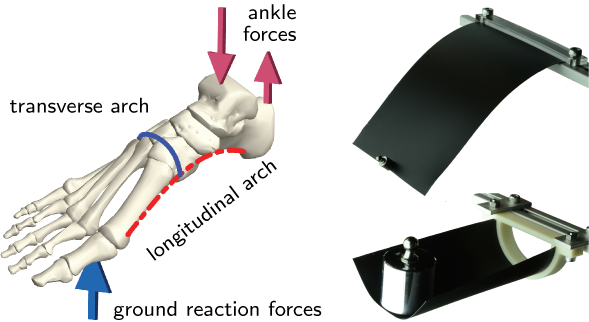 """The foot skeleton has a blue line showing the transverse arch over the width of the foot and a red-dotted line showing the longitudinal arch under the foot. A blue arrow under the ball of the foot skeleton is marked """"ground reaction forces"""" and red lines going up and down at the ankle are marked """"ankle forces."""" Top right: A black piece of paper is bent to mirror the longitudinal arch. Bottom right. A weight sits on a piece of black paper bent to mirror the transverse arch."""