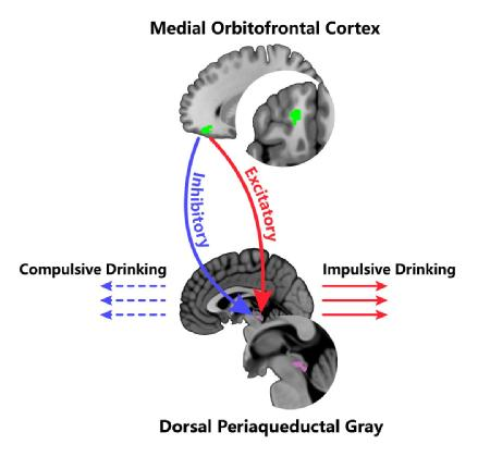 Caption: The Medial Orbitofrontal Cortex – Dorsal Periaqueductal Gray top-down regulations are linked to impulsive and compulsive drinking. Credit: University of Warwick