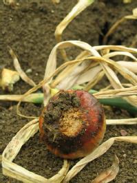 Basal rot