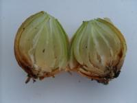 onions with basal rot
