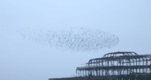 Starlings Brighton