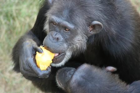 Caption: Chimpanzees Taffy and Maxi, who were studied at the National Center for Chimpanzee Care in Texas Credit: University of Warwick
