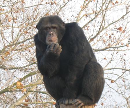 Caption: Chimpanzee Judumi, who was studied at the National Center for Chimpanzee Care in Texas Credit: University of Warwick