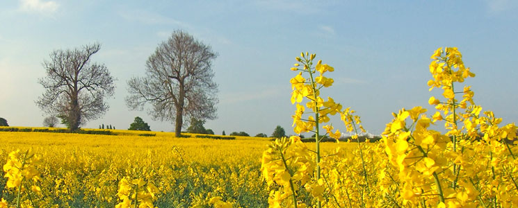 Spring yellow rapeseed flowers