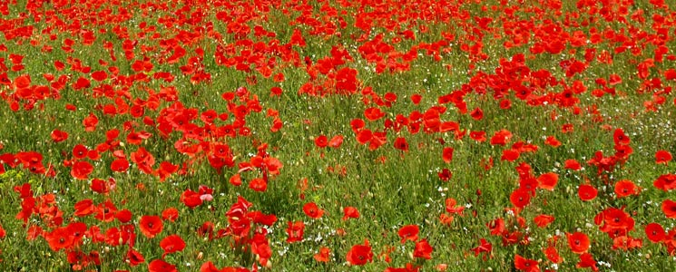 A field of red poppies in summer