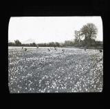 A field of narcissi, near Penzance, St Michael's Mount