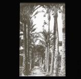 Fruit gatherers at work on date palms, Elche